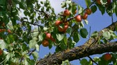 orchard : Zoom in video of apricot fruits at tree branch in orchard with blue sky in background