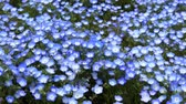 Nemophila flower field (baby blue eyes), blue flowers in the garden Wideo