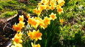 Rural scenery of spring Blooming daffodils