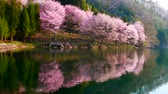 Cherry tree in full bloom is reflected in the lake Wideo