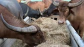 buffaloes are eating straw Стоковые видеозаписи
