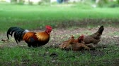 finding : chickens scraping the grass to find food. Stock Footage