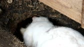rabbit or hare digs ground make a hole with teeth and leg Стоковые видеозаписи