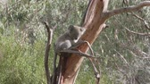 janota : Sleeping koala on a branch