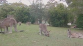 hora de dormir : Kangaroos in the Depot Beach, Murramarang National Park