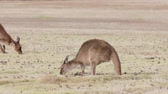 several : Kangaroo Island Kangaroos eating