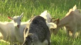imaturo : White goat grazing in the field. Little goat on the chain.Mother goat with goat, two goats. Vídeos