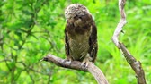 Asian Brown Wood Owl on tree in forest Stock Footage