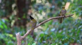 Black-crested Bulbul and Stripe-throated Bulbul perched on a branch