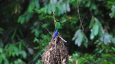 colorful bird long tailed broadbill on tree branch in forest