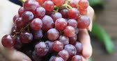 белое вино : Hand shows a heap of red grapes harvested by herself in a red grapes vineyard. organic food and fine wine handmade