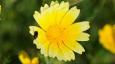 клещи : Beetle jumping on a yellow flower with tiny red insects. Windy spring day abstract. Стоковые видеозаписи
