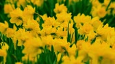 jonquil : Group daffodils in garden flowers moving in the wind Stock Footage
