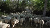 kırpılmış : Recently shorn sheep herd crossing a narrow field