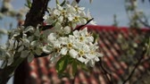 sky : Branch apple tree with flowers bud moving with the wind in spring. On the bottom of the roof of a house  Stock Footage