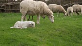 фехтование : Lamb prancing alongside her mother  - Ewe with lamb jumping on a green meadow next to the herd