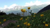yellow flowers in a green field sunny day background snow moutain