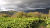 panoramic view of the tea plantations in the mountains. Against the backdrop of a stormy sky. Autumn