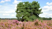 funda : Blossomig Heather plants in a nature reserve in summer