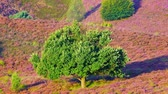 funda : Oak tree moving in the wind on a hill covered with blossoming Heather plants.