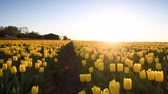 tulipan : Yellow tulips in a field during a beautiful spring sunset in Holland.