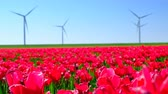 turbina : Red tulips in a field with wind turbines in the background during a beautiful spring day in Holland.