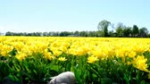 тюльпаны : Yellow tulips in a field during a beautiful spring day in Holland. Стоковые видеозаписи