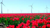 тюльпаны : Red tulips in a field with wind turbines in the background during a beautiful spring day in Holland.