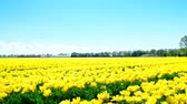 kwiat : Yellow tulips in a field during a beautiful spring day in Holland. Wideo