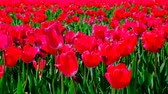 тюльпаны : Red tulips in a field with during a beautiful spring day in Holland. Стоковые видеозаписи