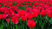 tulipan : Red tulips in a field with during a beautiful spring day in Holland. Wideo
