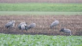 jeřáb : Common Cranes or Eurasian Cranes (Grus Grus) birds feeding in corn fields during migration to the South in the fall. Slow motion clip at half speed.