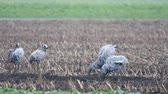grua : Common Cranes or Eurasian Cranes (Grus Grus) birds feeding in corn fields during migration to the South in the fall.