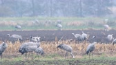 grus : Common Cranes or Eurasian Cranes (Grus Grus) birds feeding in corn fields during migration to the South in the fall.