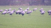 etet : Common Cranes or Eurasian Cranes (Grus Grus) birds feeding in corn fields during migration to the South in the fall.