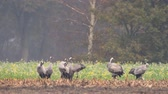 group of animal : Common Cranes or Eurasian Cranes (Grus Grus) birds feeding in corn fields during migration to the South in the fall. Slow motion clip at half speed.