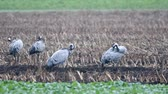 grues : Common Cranes or Eurasian Cranes (Grus Grus) birds feeding in corn fields during migration to the South in the fall. Slow motion clip at half speed.