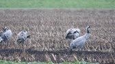 kanatlar : Common Cranes or Eurasian Cranes (Grus Grus) birds feeding in corn fields during migration to the South in the fall. Slow motion clip at half speed.