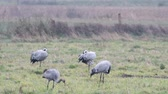 птицы : Common Cranes or Eurasian Cranes (Grus Grus) birds feeding in corn fields during migration to the South in the fall. Slow motion clip at half speed.