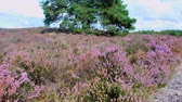 funda : Heathland landscape with blooming Heather plants in during a summer day. Stok Video