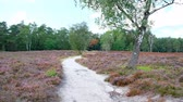 nature reserve : Walking in a Heathland landscape with blooming Heather plants in during a summer day. Stock Footage