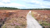 funda : Walking in a Heathland landscape with blooming Heather plants in during a summer day. Stok Video