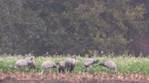 grus : Common Cranes or Eurasian Cranes (Grus Grus) birds feeding in corn fields during migration to the South in the fall. Slow motion clip at half speed.