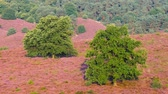 funda : Trees on a hill with blossoming heather plants in early autumn morning light. Stok Video