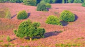 aranha : Trees on a hill with blossoming heather plants in early autumn morning light. Stock Footage