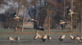 grus : Common Cranes or Eurasian Cranes (Grus Grus) birds landing in a field during migration to the South in the fall. Slow motion clip.