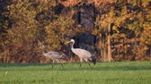juvenil : Common Cranes or Eurasian Cranes (Grus Grus) birds resting and feeding in a field during migration to the South in the fall. Slow motion clip. Stock Footage