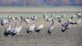 grus : Common Cranes or Eurasian Cranes (Grus Grus) birds resting and feeding in a field during migration to the South in the fall. Slow motion clip with two cranes flying away. Stock Footage