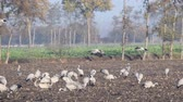 grus : Common Cranes or Eurasian Cranes (Grus Grus) birds landing in a field where more cranes are resting and feeding in a field during migration Stock Footage