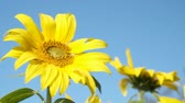 подсолнечник : Sunflower rocking in the wind during a beautiful late summer afternoon.